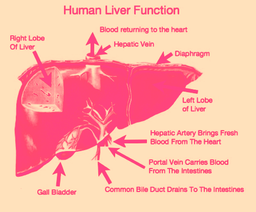 have you checked your liver function?, Human Body